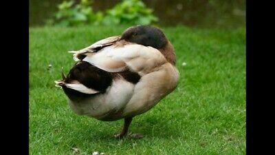 12 Khaki Campbell Duck Hatching Eggs