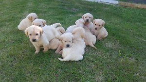 Labrador pups for sale Boronia Heights Logan Area Preview