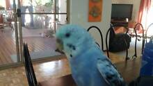 HELP PLEASE Lost Blue and white budgie Kallaroo area,REWARD Banora Point Tweed Heads Area Preview