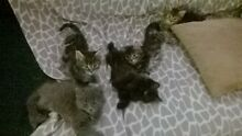 kittens for sale Palm Beach Gold Coast South Preview