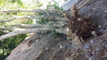 Take out stumps,roots,trees,bamboos, Cut trees up to 5meters high Coorparoo Brisbane South East Preview
