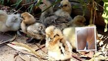 CUTE BABY SILKIE & SIZZLE BANTAM CHICKS Silky pet frizzle x $10ea Gawler Gawler Area Preview