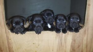 Boxer X PUPPIES !!!