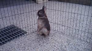 Netherland Dwarf Rabbit with Double Storey Hutch Keilor East Moonee Valley Preview
