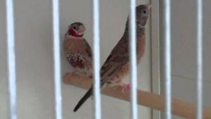 Cutthroat Finch Pair For Sale