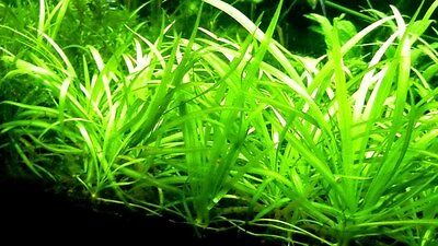 Weighted Bunch Dwarf Sagittaria Plant Live Aquarium Plants sag grass foreground