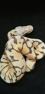 Baby ball pythons!! Hatchlings