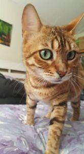 Beautiful Bengal Cat Kittens