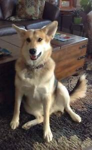 "Adult Female Dog - Shepherd-Husky: ""Lola (Courtesy Post)"""