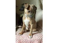Beautiful 3/4Italiangreyhound Girl Puppy