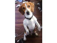 Rehoming my beagle.