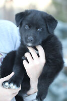 """Baby Male Dog - Lab Mix:  """"Lucus"""""""