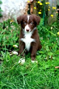 Looking for a Red and white female border collie