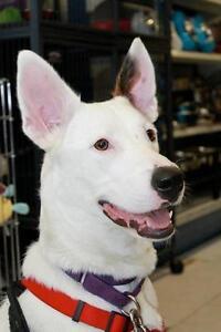 """Adult Female Dog - Husky-Labrador Retriever: """"Dasher"""""""