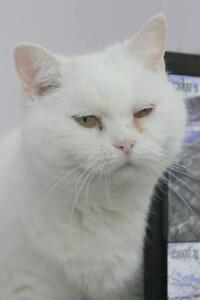 "Adult Female Cat - Domestic Short Hair-white-Persian: ""Blizzard"""
