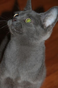 Male Kitten (Looks like Russian Blue)