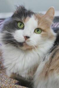 "Adult Female Cat - Domestic Long Hair: ""Alice"""