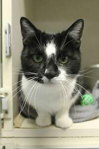 "Adult Male Cat - Domestic Short Hair-black and white: ""Jett"""