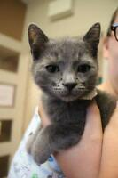 "Baby Male Cat - Domestic Short Hair: ""Clover"""