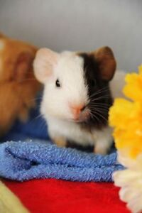 Loving family wanting to adopt a guinea pig or two :)