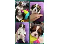I Have 1 Gorgeous ShihPoo Girl Puppy Left Looking For A Forever Home