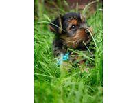 Yorkshire terrier, puppys