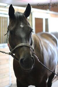 CHUNKY easy keeping TB gelding for sale W/T/C