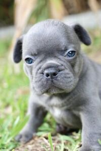 Blue French Bulldog Girl Purebred