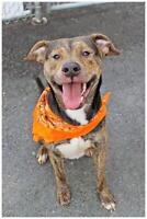 Young Male  - American Staffordshire Terrier-Shepherd