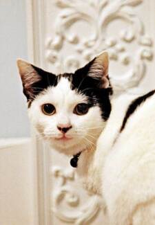 AK0798 : Ally - CAT for ADOPTION - Vet work included Caversham Swan Area Preview
