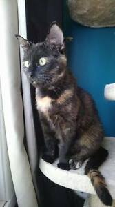 "Adult Female Cat - Domestic Short Hair: ""Alice"""