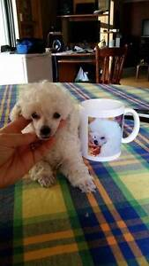 Purebred Toy Poodle White Boy Pups Penrith Penrith Area Preview