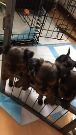 Yorkshire terriers ( 3 months old)