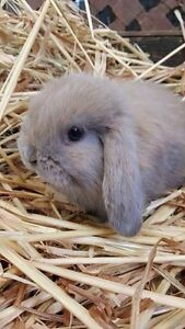 MINI LOP Baby Bunny Rabbits, Gorgeous & Friendly Largs Bay Port Adelaide Area Preview