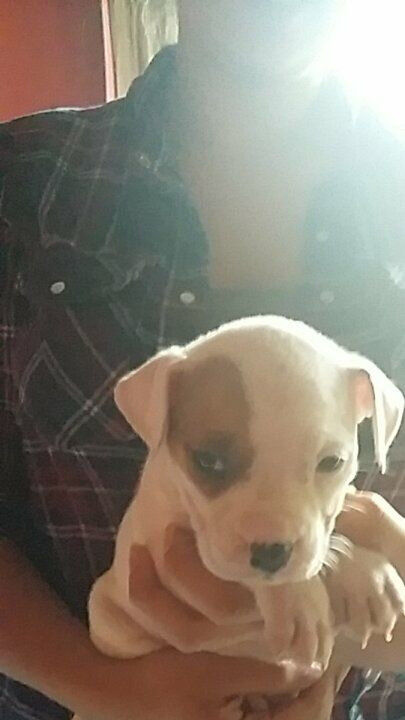 American bulldog bitch pup for sale