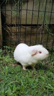 2 male one year old guinea pigs