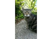 Lost cat- Tamerton Foliot