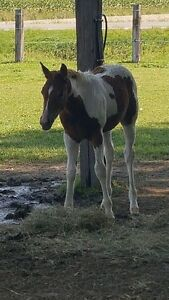 Yearling Curly
