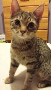 "Young Female Cat - Tabby - Grey: ""Peppa"""