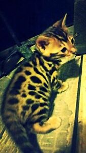 STUNNING Bengal Kittens - Registered with TICA