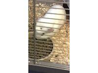 Still a baby guinea pig
