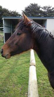 Brown TB Colt Mount Gambier Grant Area Preview