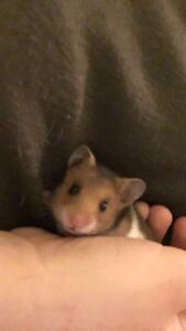Adorable Baby Hamsters for Sale