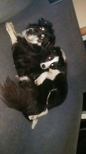 Five month old black and white border collie lost in upper branc