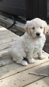 PUPPY and  KIT FOR SALE