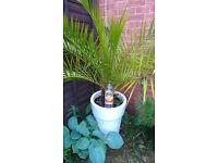 date palm (phoenix palm )
