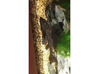 LARGE PLECO NEEDS NEW HOME ASAP