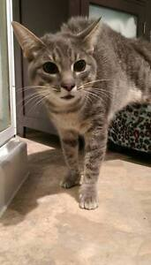 "Adult Male Cat - Domestic Short Hair: ""Lexus"""