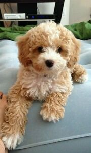 Female Cavoodle with light coat Newcastle Newcastle Area Preview