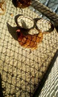 Chickens for sale!